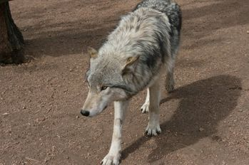 timber-wolf2