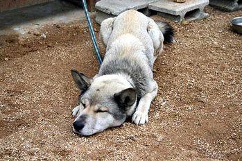 shikoku-gris-noir-chien