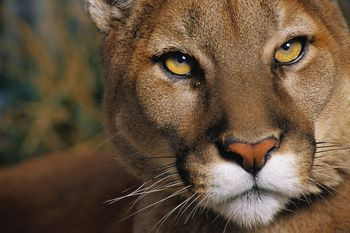 cougar-picture.jpg
