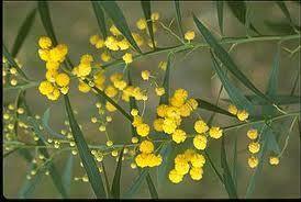 Mimosa-branche-fleur.jpg
