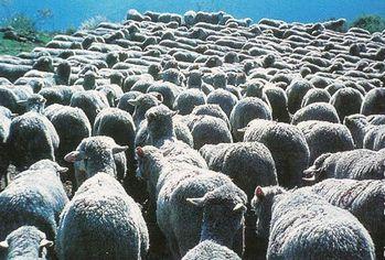 moutons troupeau