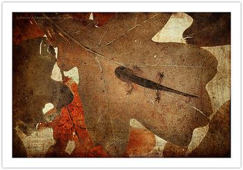 Salamandra-salamandra-terrestris-350.jpg