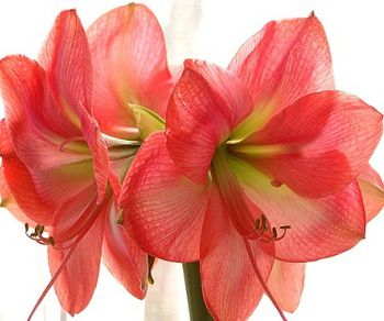 Amaryllis-fiori-rosa.jpg