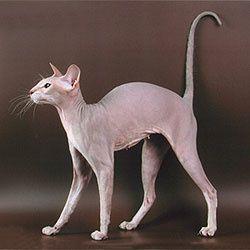 Peterbald-cat-lilas-tabby-wiki.jpg