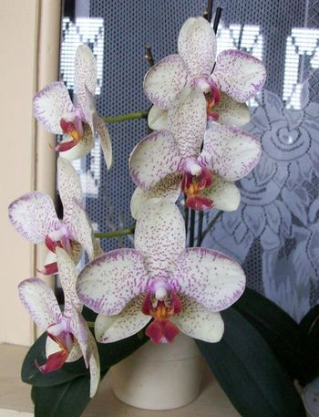 orchidee-blanche-mouchetee-de-mauve.jpg