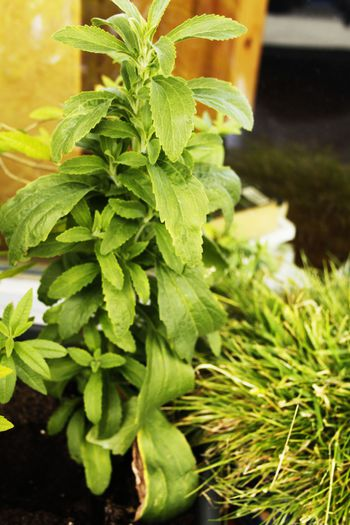 stevia