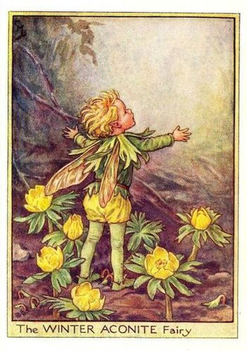 winter aconite flower fairy