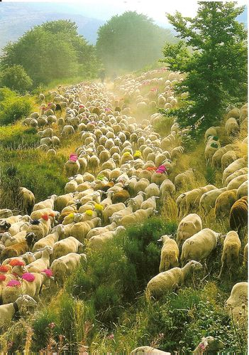 Cevennes transhumance fred