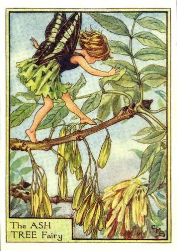 ash tree flower fairy