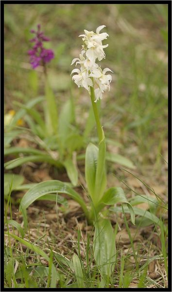 Orchis-mascula-a-3-labelles-9060.jpg