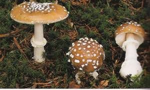 Amanita-pantherina.jpg