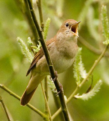 animal-oiseau-rossignol-1.jpg