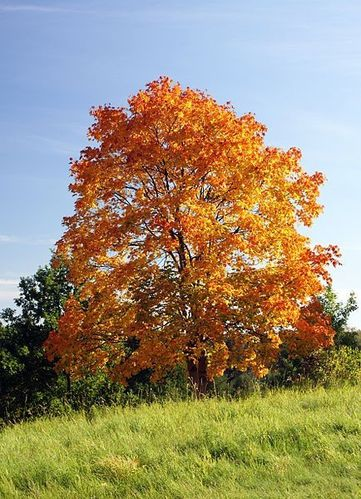 434px-Acer_platanoides_in_autumn_colors.JPG