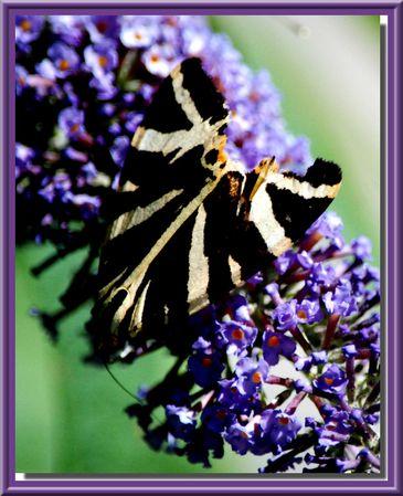 papillon-2013-08-0143
