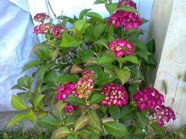 hortensiarose
