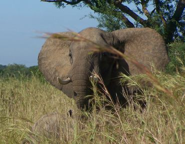 086-MURCHISON-Elephants.JPG