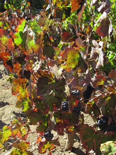 vignes rousses couleur d'automne