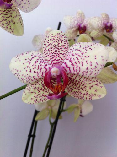 Mi-orquidea-5090-copia-4.JPG