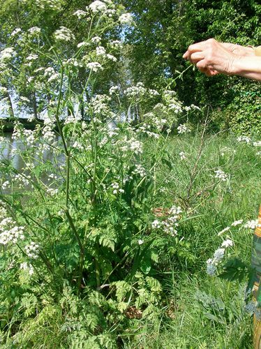 Anthriscus_sylvestris_anthrisquesauvage_canal_avril11.JPG
