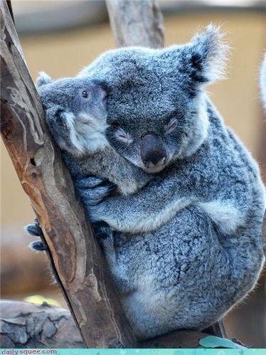 p_koala.jpg