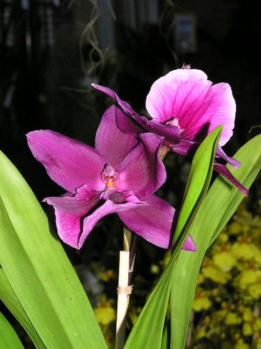 miltonia-honolulu.JPG