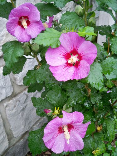 HIBISCUS MARIE THERESE