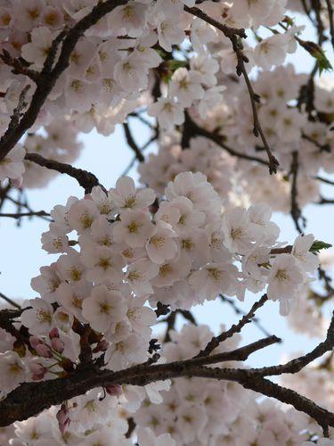 Cerisiers Cheongju (9)