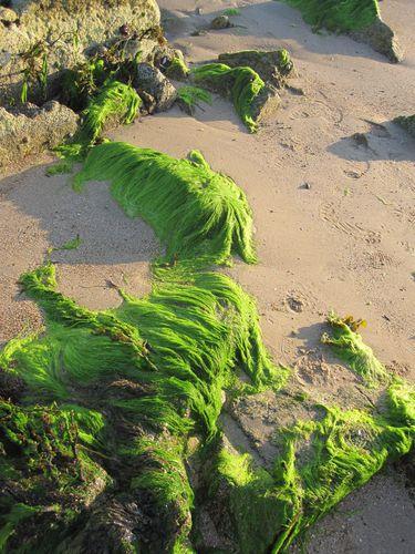 algues 3