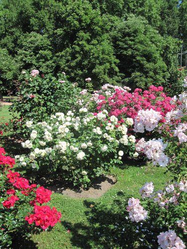 roseraie 4