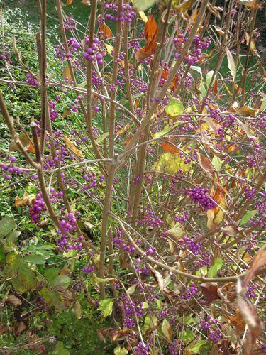 baies violettes 2