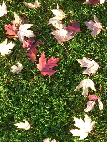 feuilles erable 001 slc768