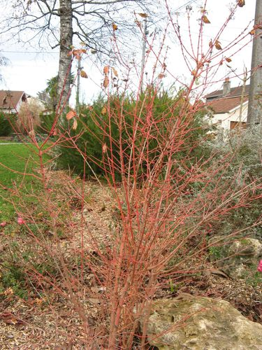 cornus sanguinea winter flame .