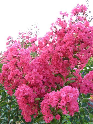 fleur-lagerstroemia-rose-intense.jpg