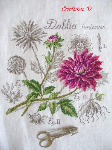 Copie-de-Etude-botanique-le-dahlia-.JPG