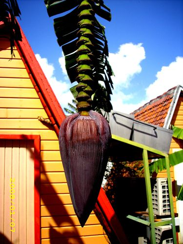 La fleur du bananier Copyright Christian Dutasta 0167