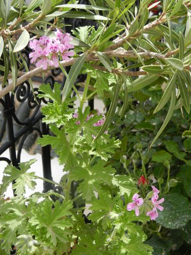 fleurs de Géranium Robert