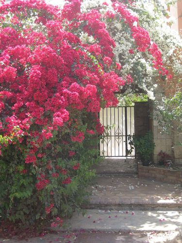 Bougainvilliers1