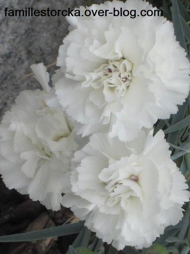 fleurs oeillets blancs