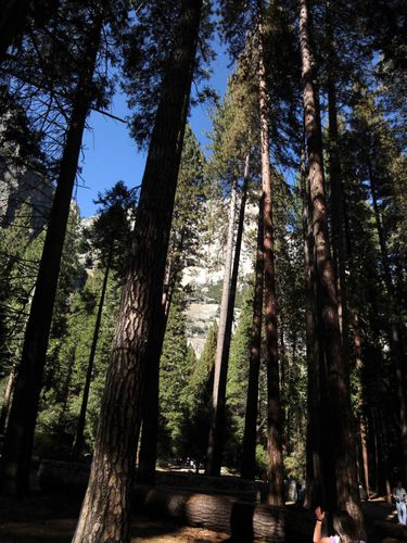 Yosemite-cyprès-3