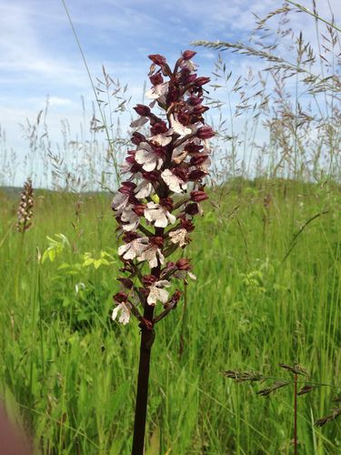 55 Orchis pourpre