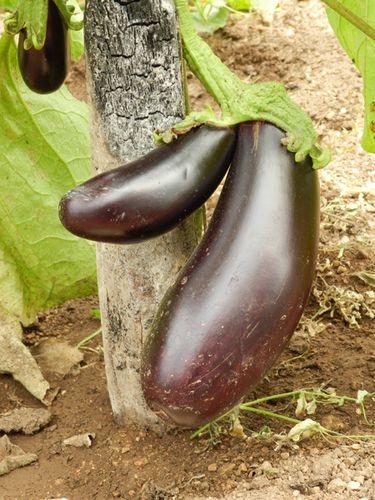 aubergine-2012-07-12--2-.JPG