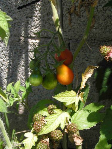 Tomate poire rouge 25