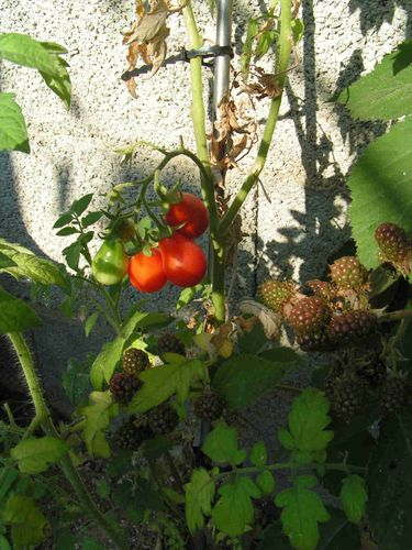 Tomate poire rouge 35
