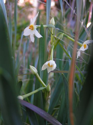 Narcisses-sauvages-10-3-13-2.JPG