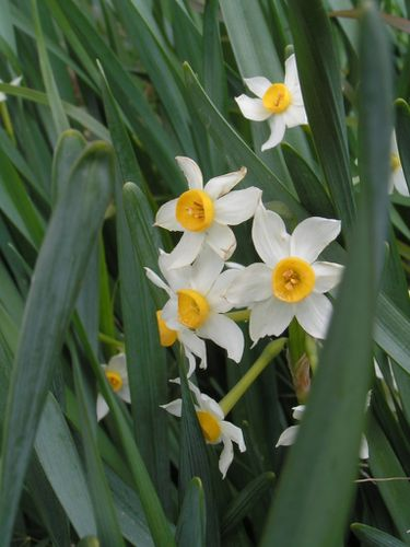 Narcisses-sauvages-16-3-13-3.JPG