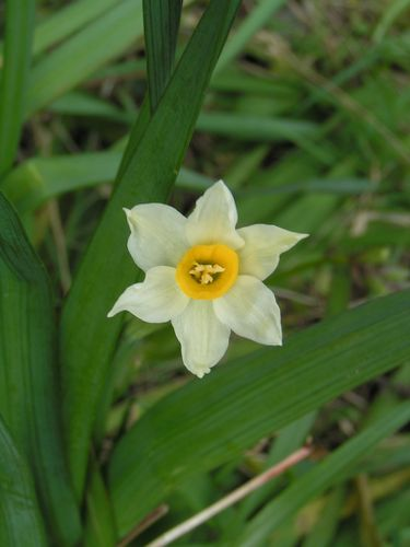 Narcisses-sauvages-16-3-13-5.JPG