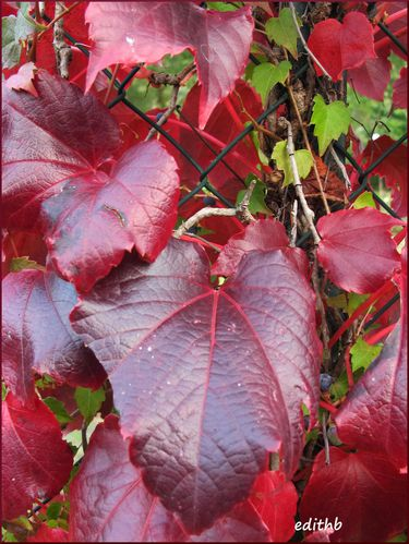 feuilles rouges de vigne vierge automne en aveyron edithb mes photos aveyron lozere. Black Bedroom Furniture Sets. Home Design Ideas