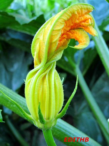 COURGETTES (4)