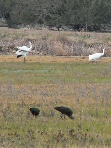 Goose Island SP grues blanches1