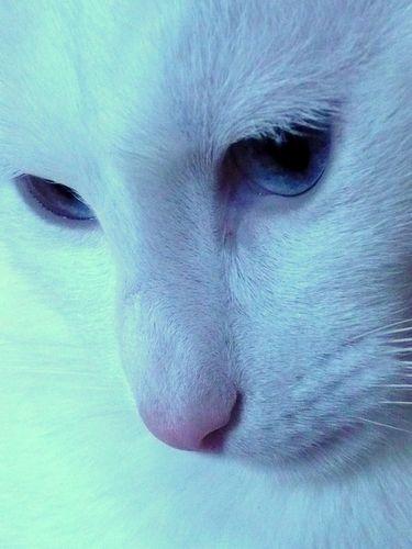 chat blanc albertosi